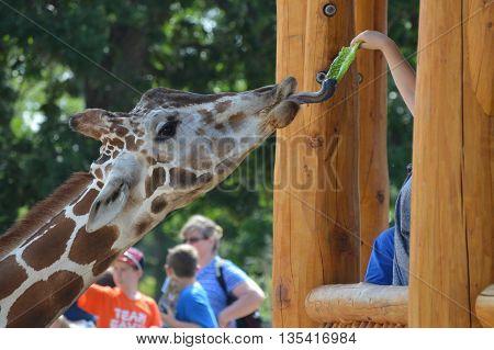 SAINT PAUL, MN - JUNE 16, 2016: Feeding the giraffe at the new feeding station at Como Zoo.
