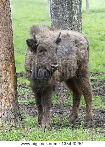 Large male bison in the forest, bison in grasslands, close up with selective focus and green nature background