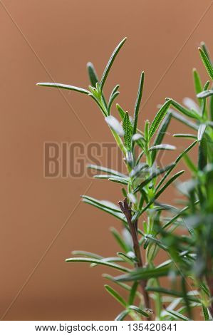 Fresh Rosemary Herb grow outdoor. Rosemary leaves Close-up. Fresh Organic flavoring plants growing. Seasonings, Nature healthy flavoring, cooking
