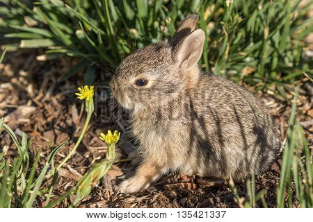 a cute little baby cottontail rabbit in Arizona