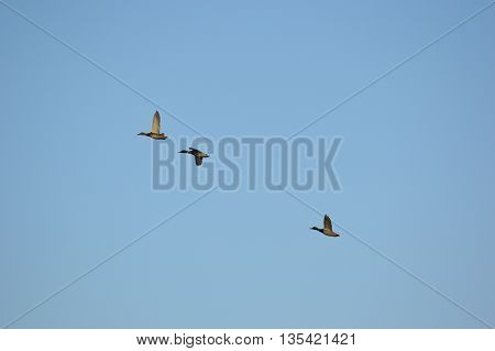 Mallard ducks flying and climbing to a higher altitude