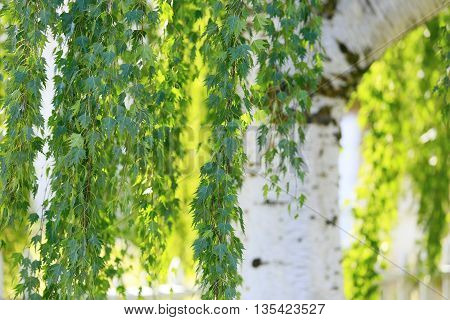 Spring Background With Young Birch Leaves Close Up