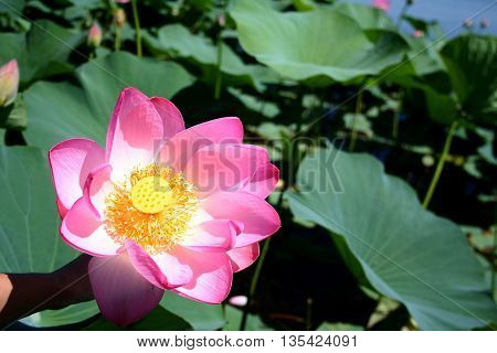 Lotuses in the Volga River flood plain in the Astrakhan region in Russia