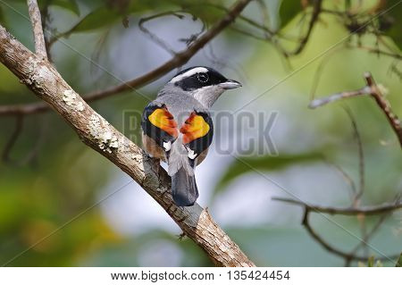 Blyth's Shrike-babbler Pteruthius aeralatus Male Birds of Thailand