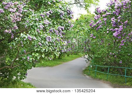 Footpath with lilac of both sides in botanical garden
