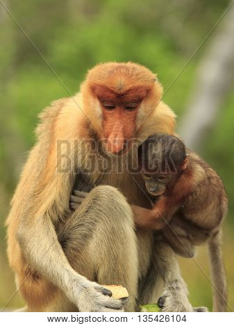 Mother and baby Proboscis Monkey