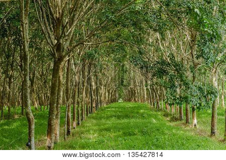 Tunnel Of India Rubber Nature Background