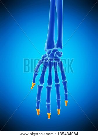 3d rendered, medically accurate illustration of the distal phalanges bones