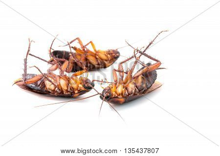 close up Cockroaches dead on white background