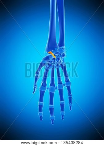 3d rendered, medically accurate illustration of the radioscaphocapitate ligament