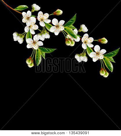 branch of cherry blossoms isolated on black background.