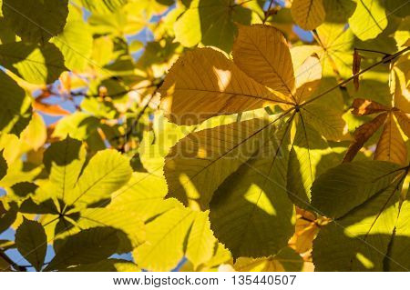 closeup of yellow chestnut leaves in autumn