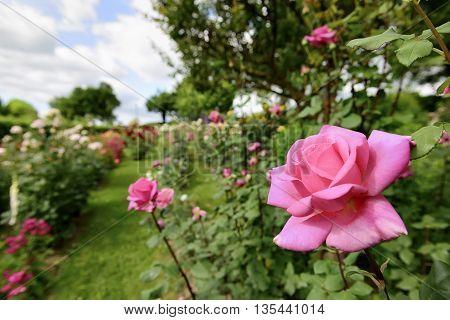 Rose Garden In Italy Marche