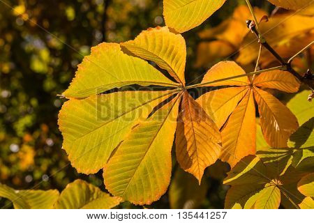 close up of isolated chestnut leaves in autumn