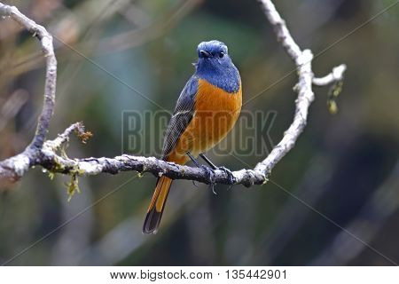 Blue-fronted Redstart Phoenicurus frontalis Male Birds of Thailand