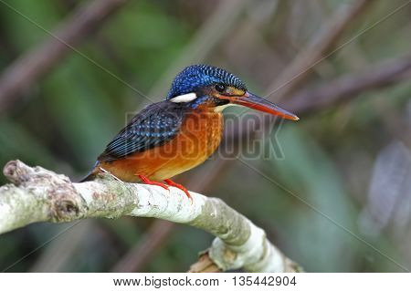 Blue-eared Kingfisher Alcedo meninting Female Birds of Thailand