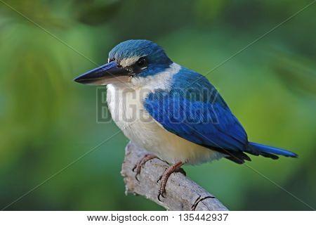 Collared kingfisher Todiramphus chloris Birds of Thailand