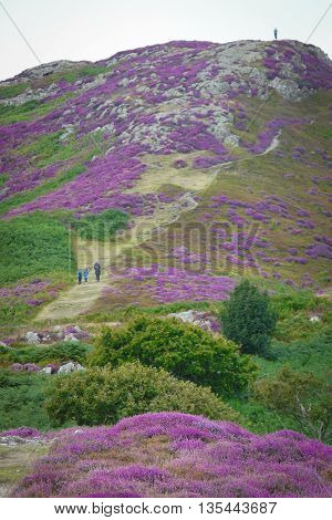 The stunning heather display on Conwy Mountain, Snowdonia