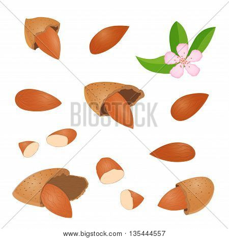 Vector set of nuts. Collection of different almonds peeled in shell leaves and flower Isolated image of almonds on white background decoration design elements food cafe menu infographics healthy foods
