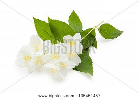 Jasmine. The branch of blossoming jasmine isolated on a white background. Jasmine flowers