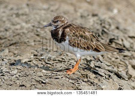Ruddy Turnstone Arenaria interpres Birds of Thailand