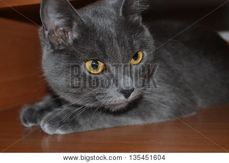 Серая кошка с красивыми глазами крупным планом.