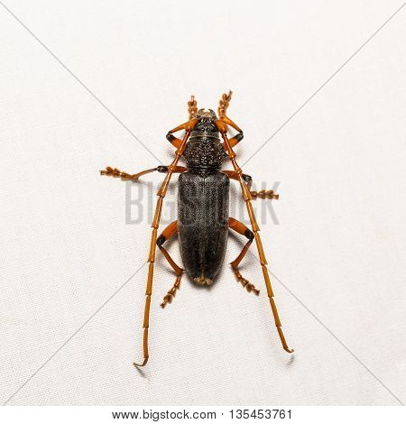 Long-horned Beetle Or Mango Bark Borer Beetle