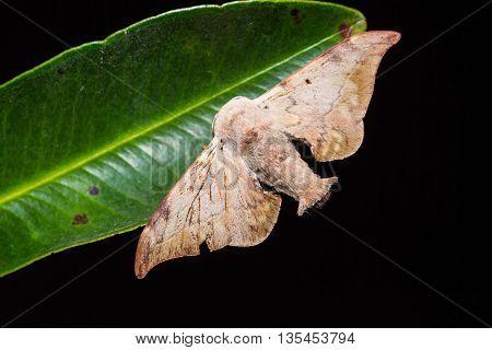 Mustilia Sp. Moth