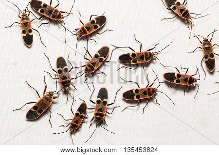 Gutta Bugs, Seed Bugs