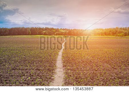At sunrise illuminated field sprouted low sweet young corn. A field is visible trail that stretches in deciduous and coniferous forest.