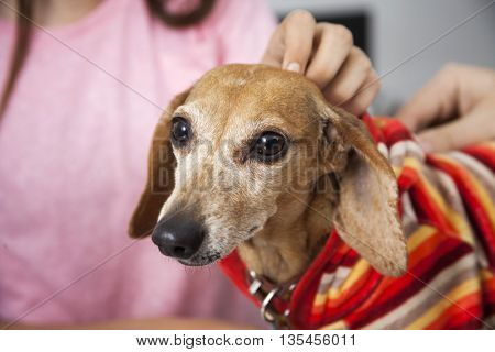 Midsection Of Girl Touching Ill Dachshund