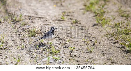 A White wagtail standing on Gravel Road.