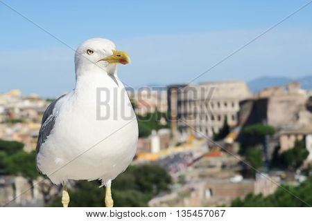 Rome Italy - summer 2016.Rome, Italy. A seagull on Vittorio Emanuelle Monument before Colosseum. Seagulls in Rome can be daily seen at the Altare della Patria (Monumento Nazionale a Vittorio Emanuele II).