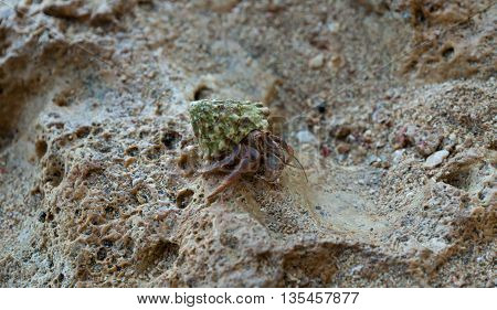 Hermit Crab on a beach seen in costa rica