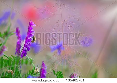 bird vetch in a beautiful poppies meadow