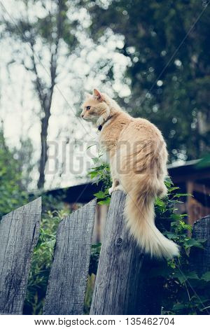 The red cat on the fence stalking prey.
