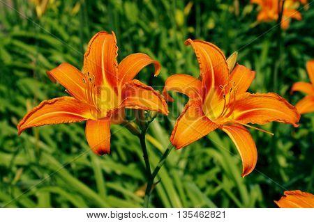 Two orange flowers of lilies in the garden (orange flowers)