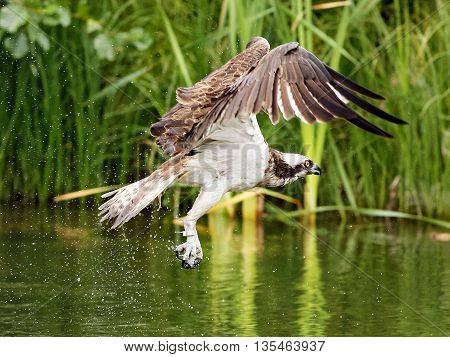 Osprey (Pandion haliaetus) - Osprey also known as fish eagle is a bird of prey. They feed exclusively on fish. They have a wingspan of 1.27 to 1.8m.