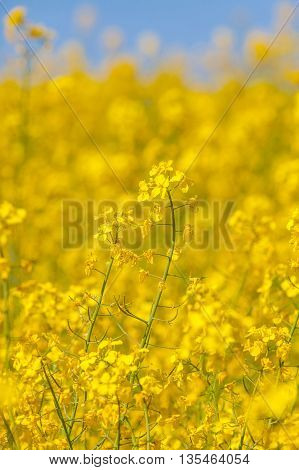 Flowering oilseed rapeseed as natural background, close-up