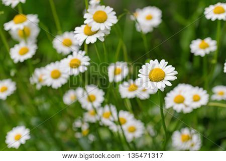 Selective focus of Oxeye daisy flower in yellow and white color in the meadow during summer in Austria, Europe