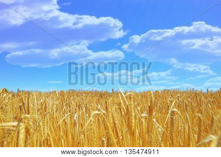 Golden wheat field and a cloudy blue sky. Empty copy space for editor's text.