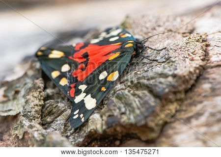 Scarlet tiger moths (Callimorpha dominula) mating with hindwings. Brightly coloured British insects in the family Erebidae previously Arctiidae in cop
