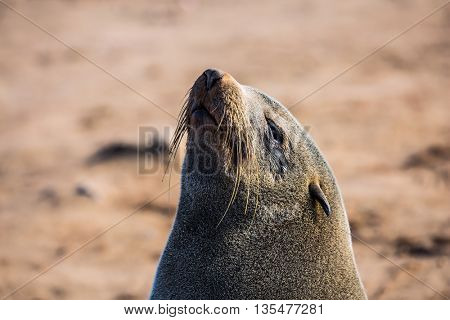 Reserve fur seals in the Cape Cross, Namibia. Large fur seal basking in the sun