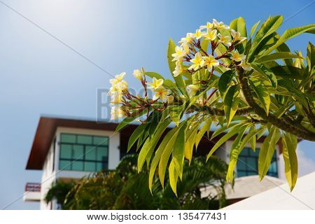 Blossoming tree on a background of blue sky and villas. Thailand Samui