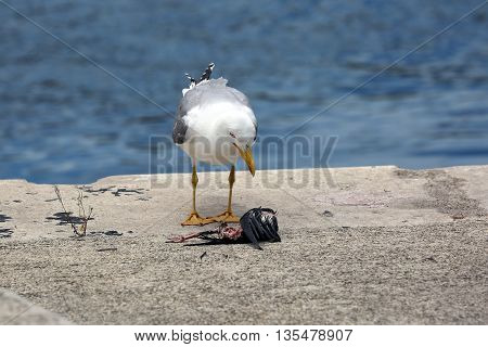 A Hungry Gull Watching a Dead Bird on the Floor