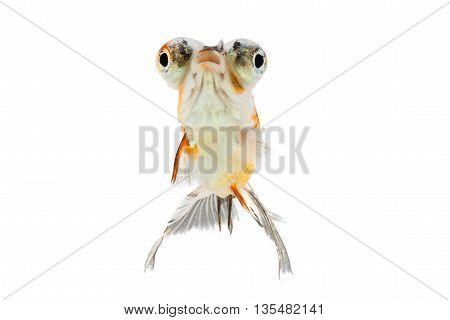 Calico Telescope-eyes Goldfish goldfish isolated on white background.