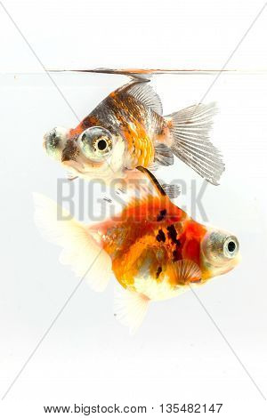 Calico Telescope-eyes Goldfish Two goldfish on white background.