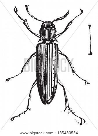 False Click Beetles or Eucnemidae. Eucnemidae is a family comprised of 1700 different species. From Domestic Life, vintage engraving, 1880.