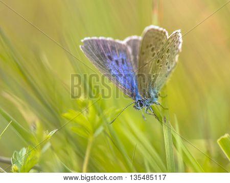 Alcon Blue Butterfly