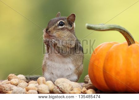 Adorable Eastern Chipmunk looking left with pumpkin and peanuts